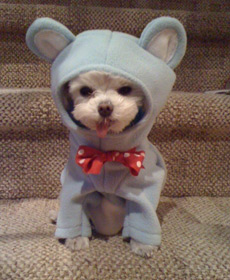 My dog Erma as Boy Bear from 'Avenue Q' at Halloween
