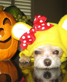 My dog Ella as Girl Bear from 'Avenue Q' at Halloween